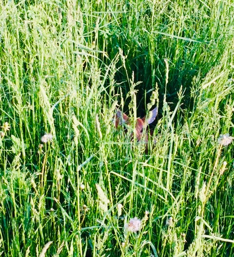 Fawn hidden in the hay field