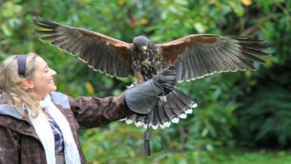 falcorny.jpg
