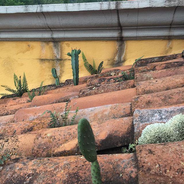 Roof Cactus