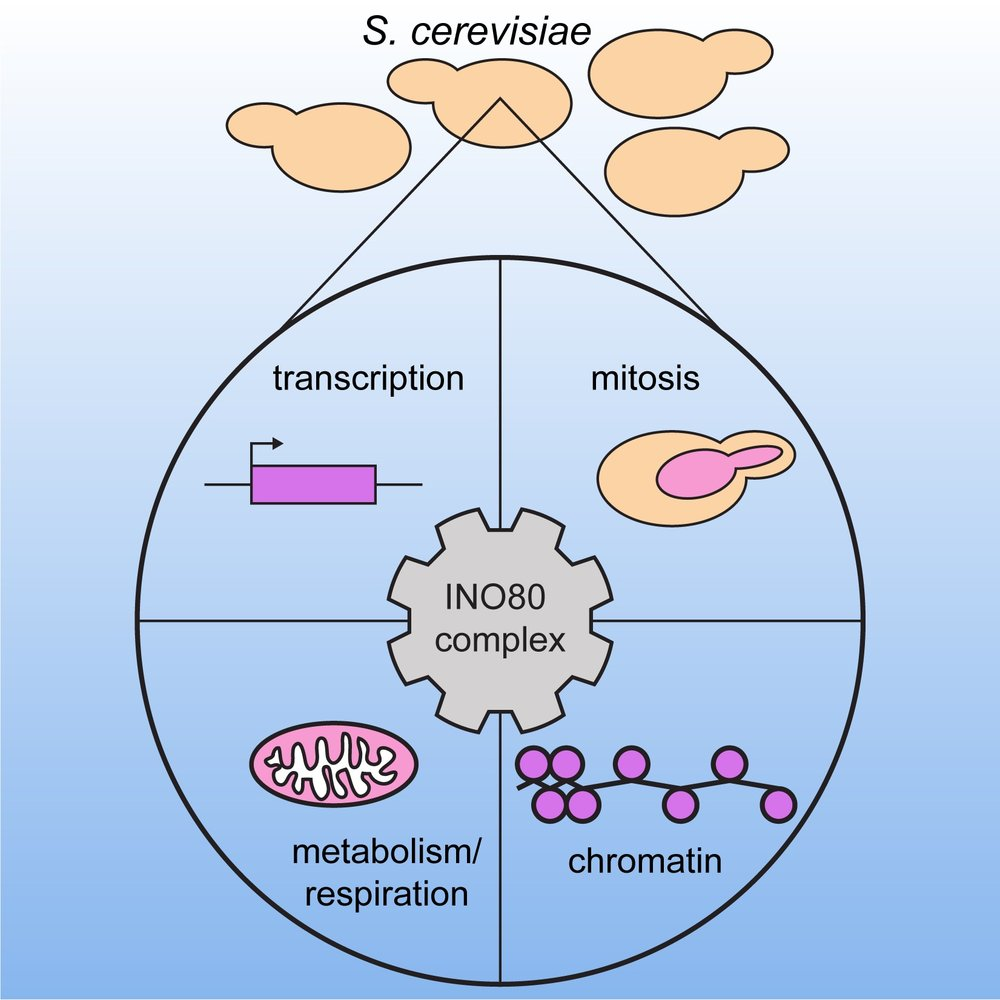 INO80 Chromatin-Remodeling Coordinates Metabolic Homeostasis with Cell Division - The INO80 chromatin-remodeling complex is needed to coordinate cell division with nutrient availability in S. cerevisiae. In metabolically synchronized INO80 mutants, oscillations of metabolic gene expression and chromatin accessibility are severely attenuated.