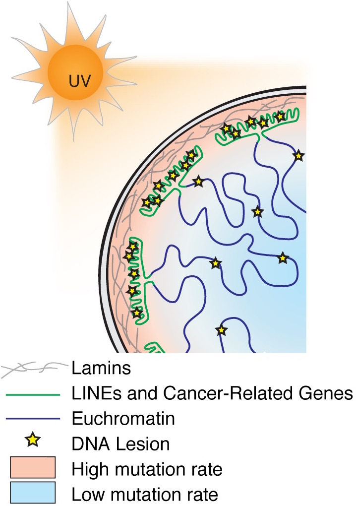 Carcinogen susceptibility is regulated by genome architecture and predicts cancer mutagenesis - Genome‐wide mapping of UV‐induced DNA lesions in primary cells reveals strong correlations with melanoma mutation frequencies and with nuclear genome architecture, suggesting that peripheral repeat regions absorb UV damage to protect euchromatin.