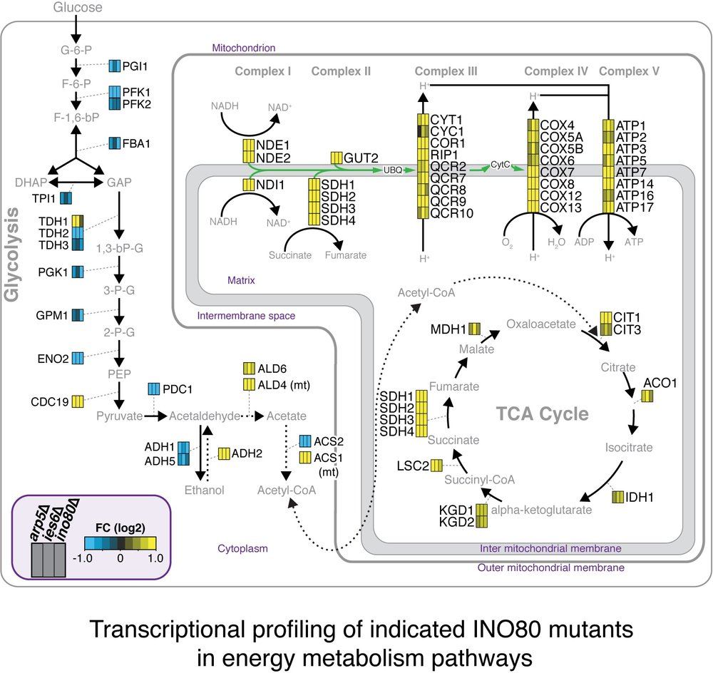 The INO80 Complex Regulates Energy Metabolism - Genomic analysis reveal that INO80 regulates approximately 15% of transcripts in yeast, many of which are enriched in energy metabolism pathways.  Specifically, INO80 mutants have increased expression of genes in the oxidative phosphorylation pathway, concomitant with elevated mitochondrial potential and oxygen consumption.