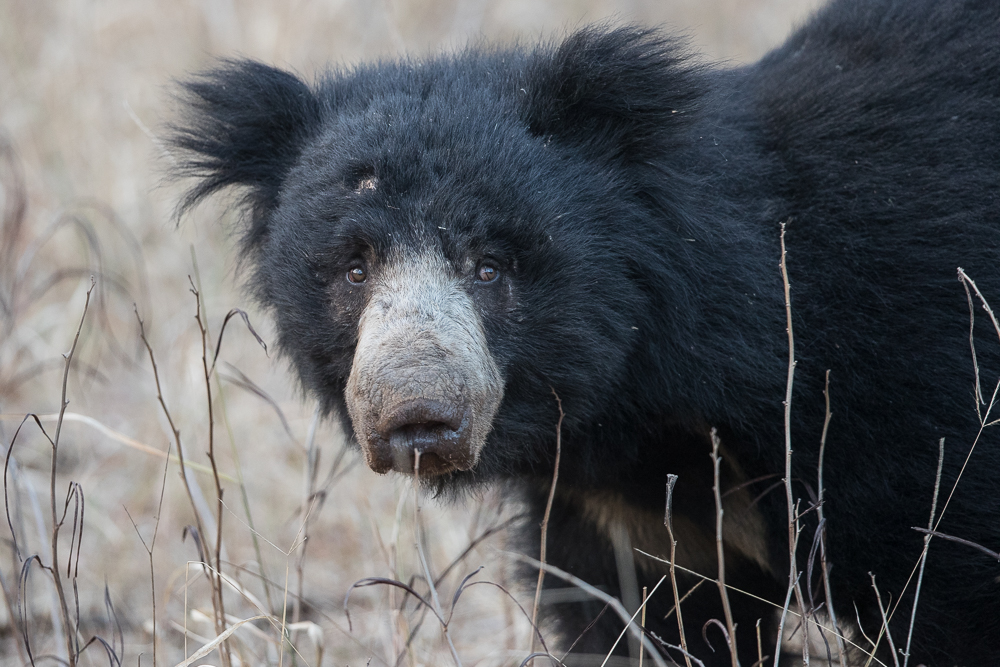 Sloth bear in Ranthambore