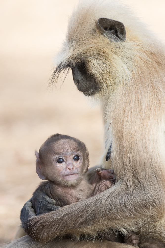Langur mom and baby