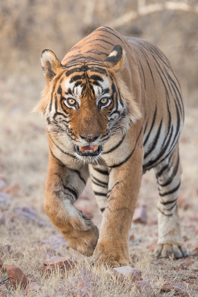 Male tiger on the approach