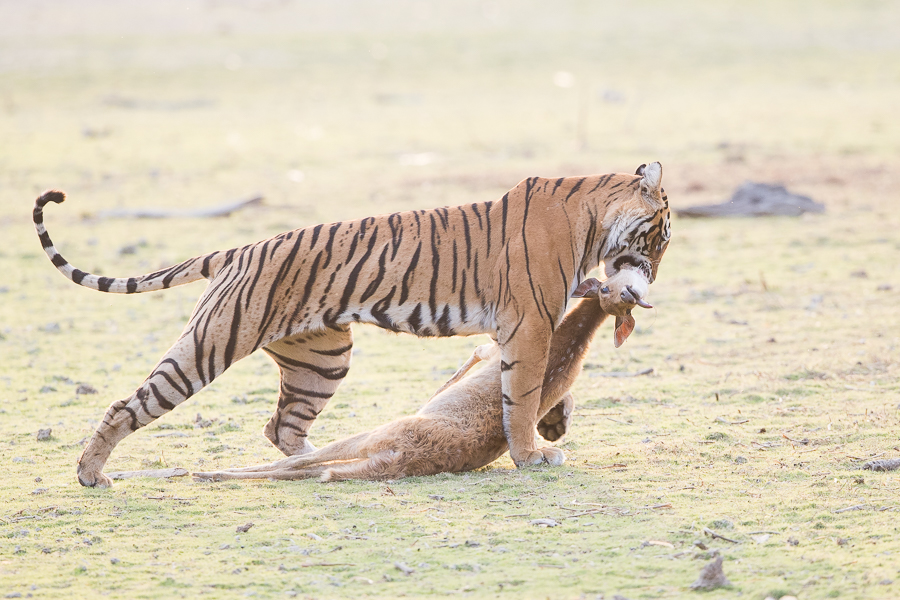Tiger dragging spotted deer