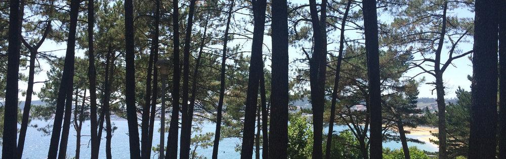 Camping Coroso_Pine Trees