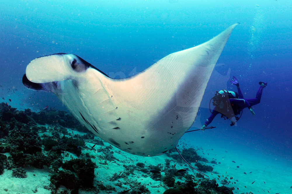Reef Manta Ray, Manta alfredi, Tagged @ Cleaning Station, D'Arros Island, Amirantes, Seychelles © Guy Stevens, Manta Trust 2016.jpg