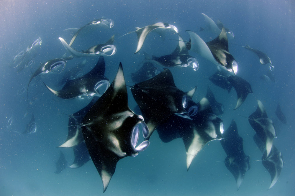 Reef Manta Ray Mass Feeding Event 5, Hanifaru Bay, Baa Atoll, Maldives © Guy Stevens, Manta Trust (E).jpg