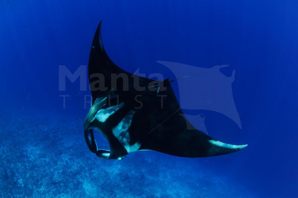 Oceanic Manta Ray, Manta birostris, Southern Spur, Fuvahmulah Atoll, Maldives © Guy Stevens Manta Trust 2015 (14).jpg