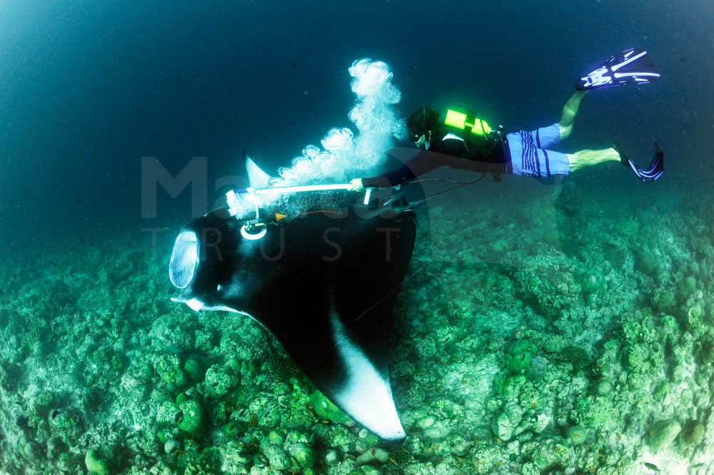 Reef Manta Ray, Manta alfredi, CritterCam Deployment, Kottefaru Beyru, Raa Atoll, Maldives © Guy Stevens, Manta Trust 2016.jpg