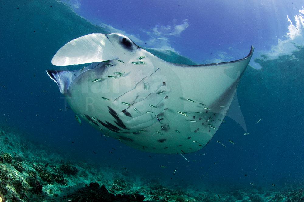 Reef Manta Ray, Manta alfredi, Rasfari North, North Malé Atoll, Maldives © Guy Stevens Manta Trust 2015 (29).jpg