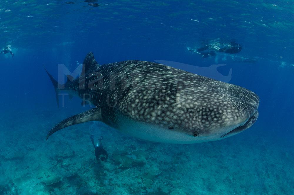 Whale Shark, Rhincodon typus, Maamigili Beyru, Ari Atoll, Maldives © Guy Stevens Manta Trust 2014.jpg