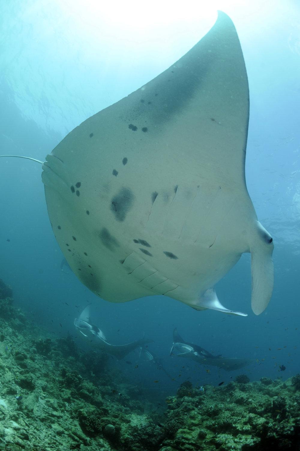 Reef Manta Ray, Manta alfredi, Hanifaru Beyru, Baa Atoll, Maldives © Guy Stevens, Manta Trust 2016.JPG