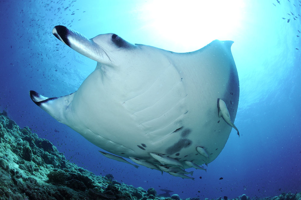 Reef Manta Ray, Manta alfredi, Rangali Madivaru, Ari Atoll, Maldives © Guy Stevens, Manta Trust 2011.jpg