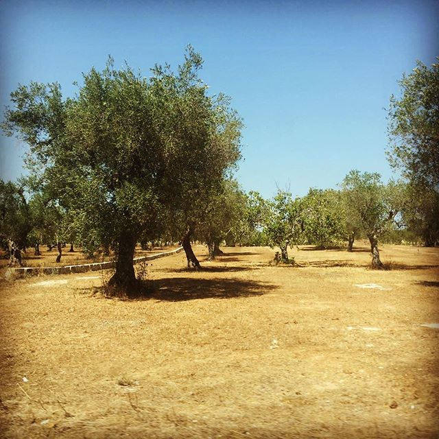 """Then shall all the trees of the forest sing for joy, before the Lord, for he comes."" ~ Psalm 96.12  Pray for Christ and his gospel to be made known in Italy. #missions #reformationitaly #olivetrees"