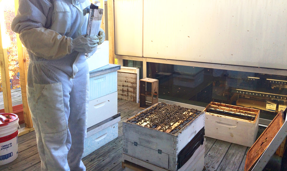 Preparing to treat the hives for varroa mites using cardboard strips soaked in natural hop compounds (Hopguard)