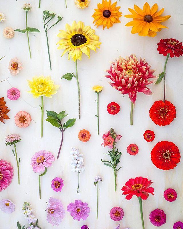 Danke euch allen für euer Vertrauen und die schönen Kommentare und DM die mich in den letzten Tagen erreicht haben! Das bedeutet mir soviel und gibt mir Aufwind und Kraft für die neue Saison!  2019 wird ein gutes Jahr! Freu mich schon auf den Sommer und all die wunderbaren Farben die er hervorbringt! Das Foto ist im August am Blumenfeld entstanden! 💛🧡❤️💜💙💚 #blumenbund #flowerfarmer #floretworkshop #regionaleblumen #saisonal #landwirtschaft #niederösterreich #schönenfeierabend