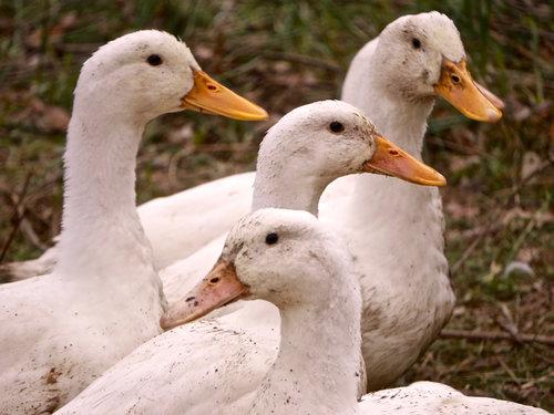 DUCKS — Bonticou Ducks