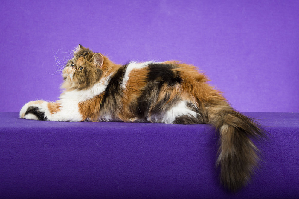 CH. MarandasLove Juliet of Granite City - Brown Patched Tabby and White Persian