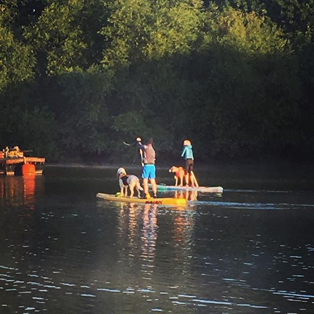 ...and our teachers, with their humans, paddle off into the distance as the flotilla makes its way slowly down river getting ready for the holiday weekend. #intentionalliving #lovewhatyoudo #lifeisbeautiful #lifeworthliving #lifeisnow #iamenough #alifeatseaisthelifeforme #standuppaddle #fanaticsup #naishsup #sup #kayaking #canoeing #summertime #summerscoming #countrylivinginthecity #adventureisoutthere #oceanpaddler #riverthames #backofbeyond #backofbeyondadventures #perceptionkayaks #venturecanoes #reflection #reflectivelife #gratitude #grateful #heartopen #heartfull
