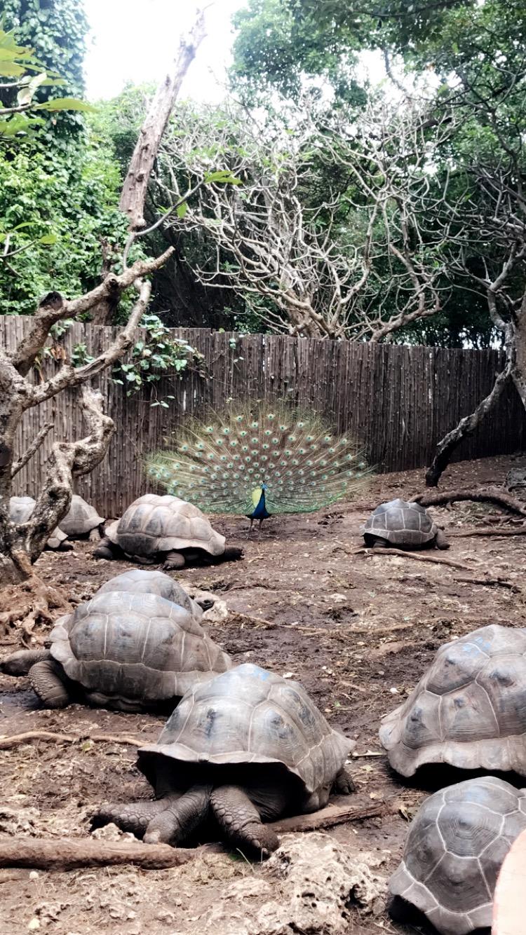 Prison Island Tortoise Peacock.JPG