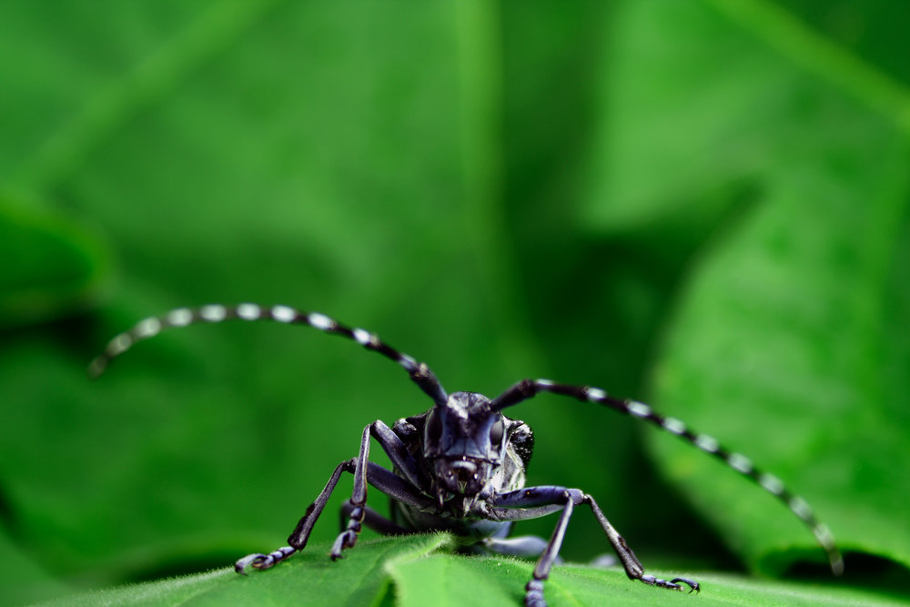 Asian_long-horned_beetle_-_Kyle_Ramirez.jpg