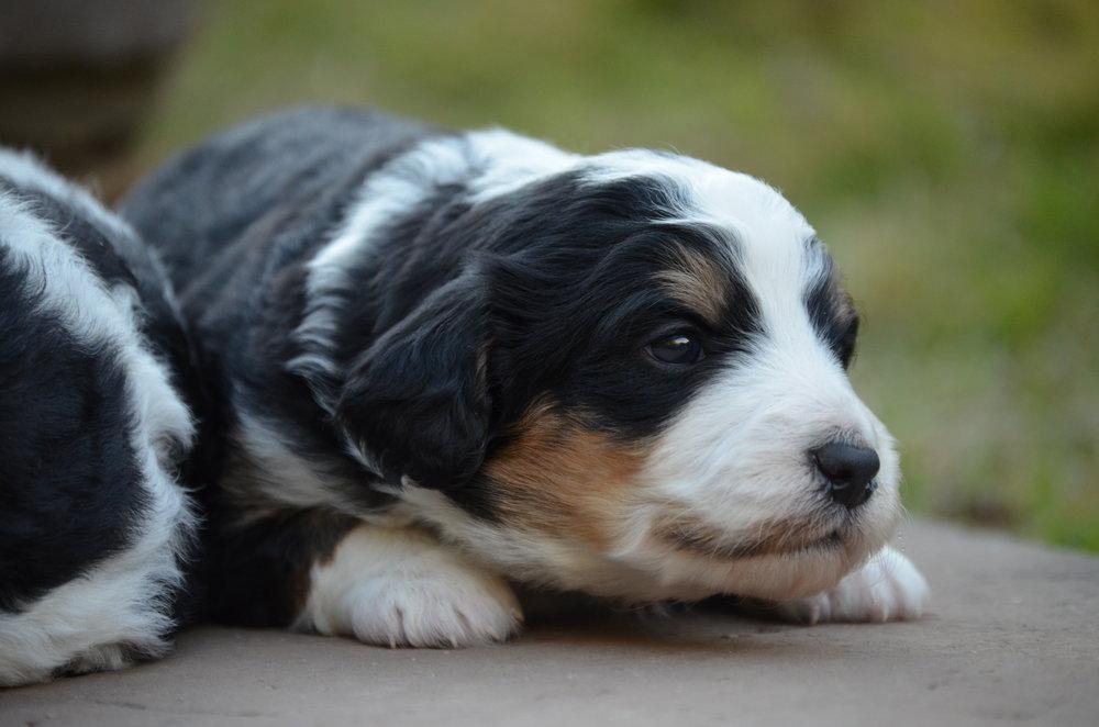 cute-swiss-doodle-pup