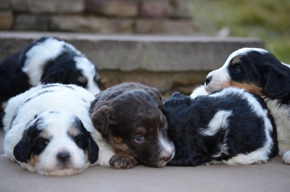 sleeping-swiss-doodle-puppies