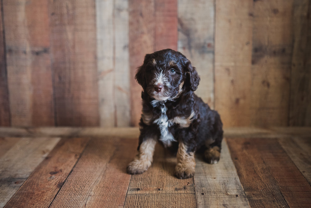 chocolate-tri-color-swiss-doodle-puppy