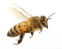 bee_flying.png