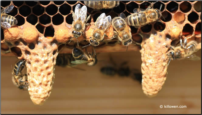 Fully mature swarm cells