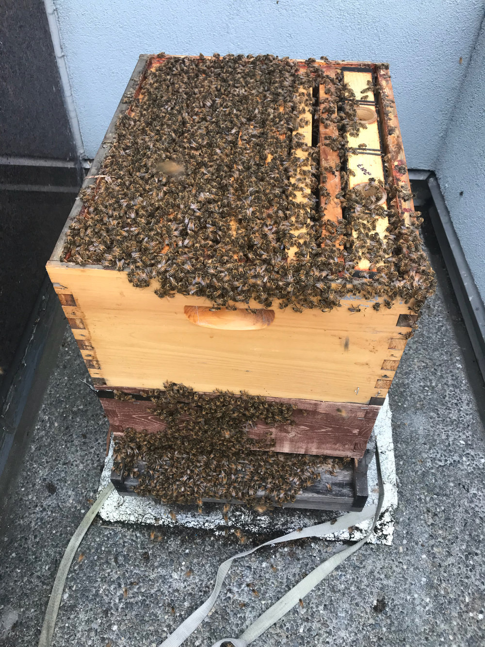 NORTH COLONY - Clear indication of a growing colony as bees seem to have great numbers.