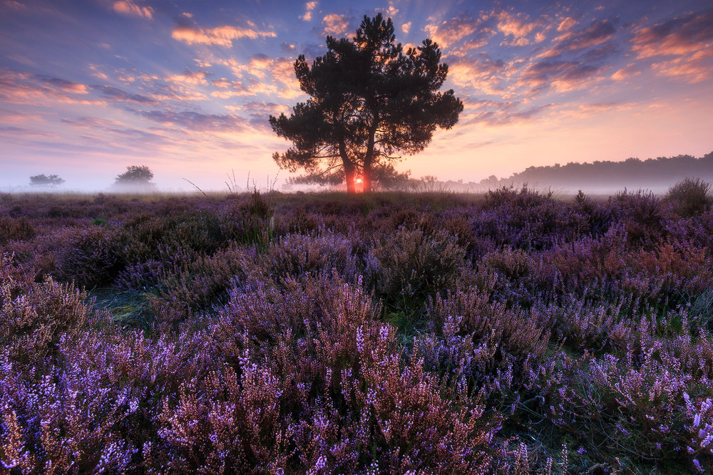 Sunrise at the heather field (The Netherlands)