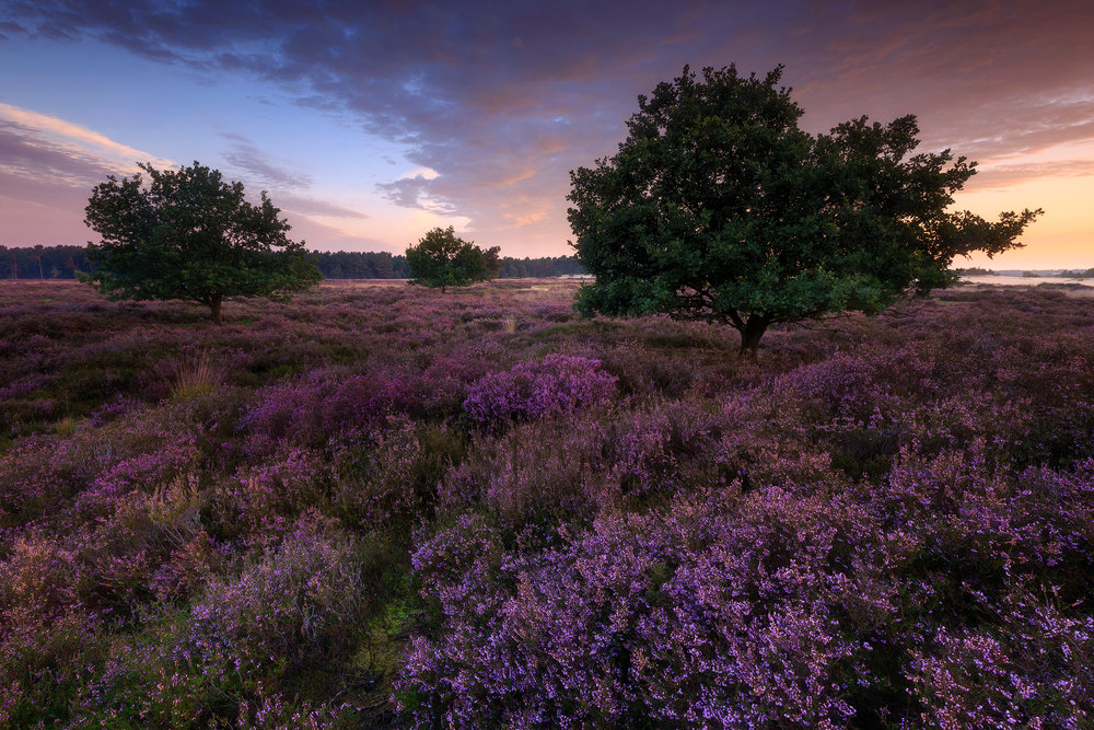 Blooming heather (The Netherlands)