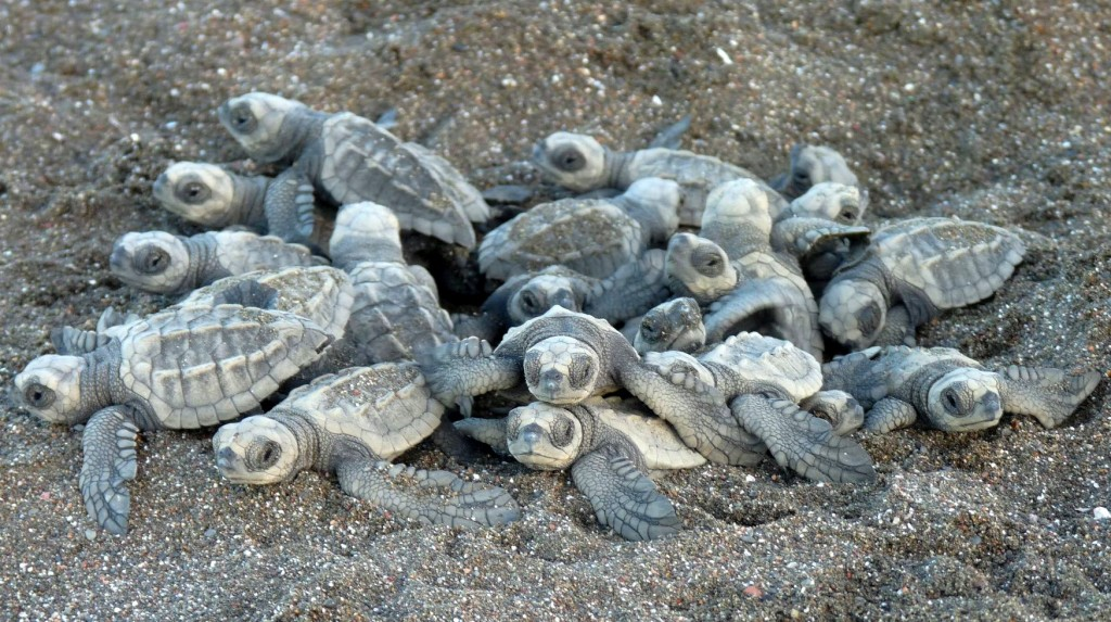 Baby olive ridley sea turtles digging their way out of the nest--it can take them up to a week to dig themselves out!