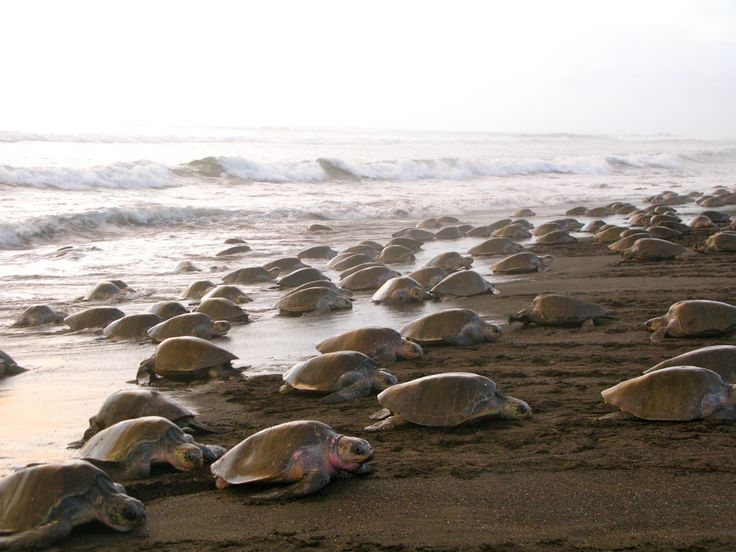 Olive Ridley Sea Turtles emerging from the water en masse during an arribada at Ostional Beach. Photo courtesy of thesasupost.wordpress.com