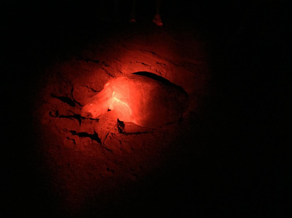Olive Ridley Sea Turtle nesting
