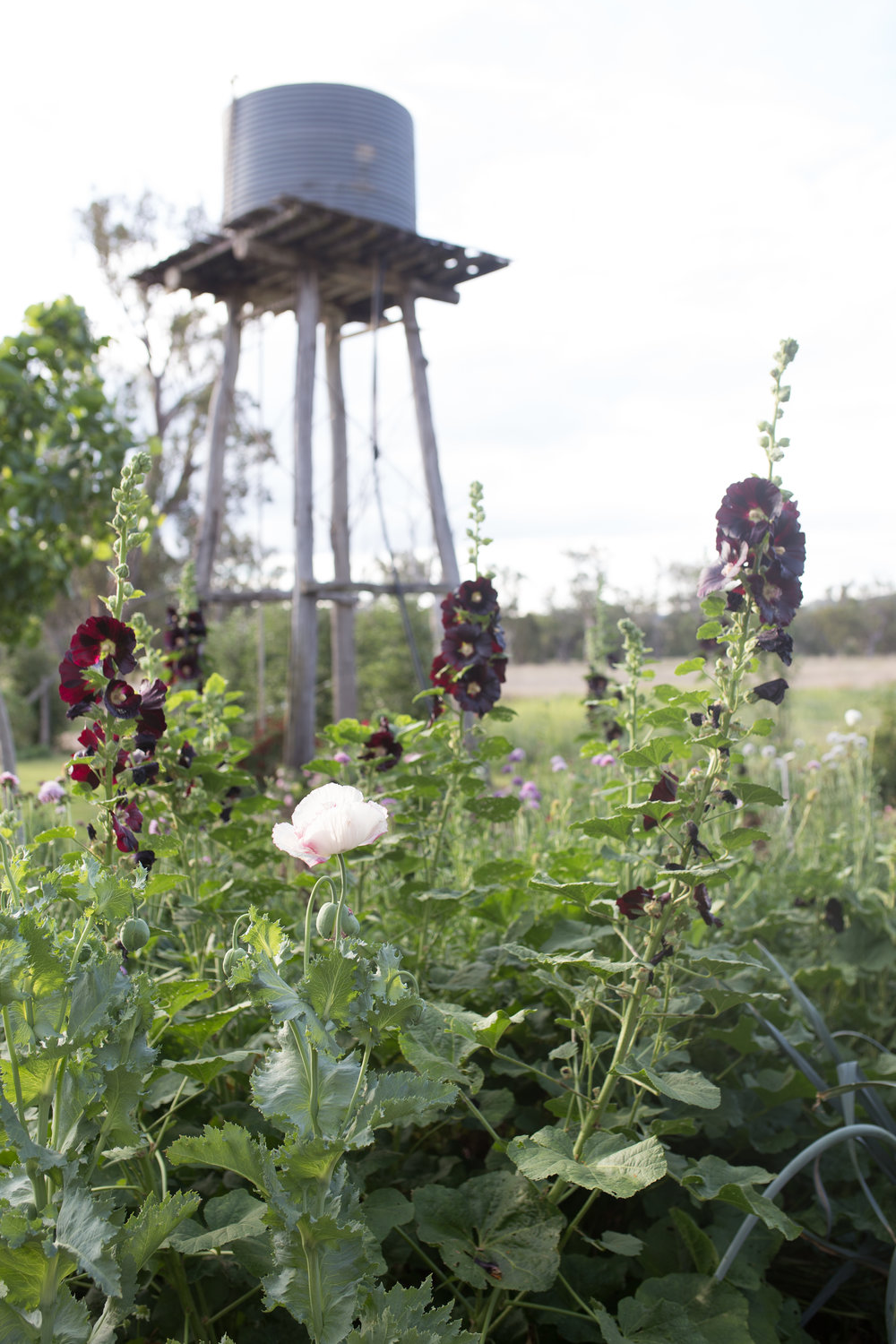 Hollyhocks and poppies