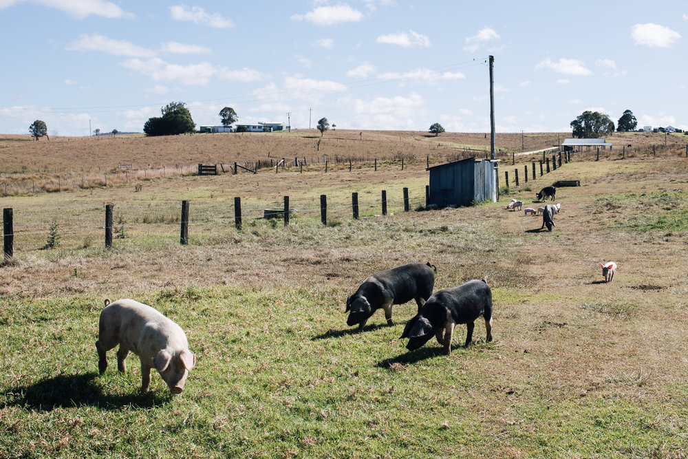 Free range pigs at  Arrajay Downs  just out of Tenterfield, NSW.