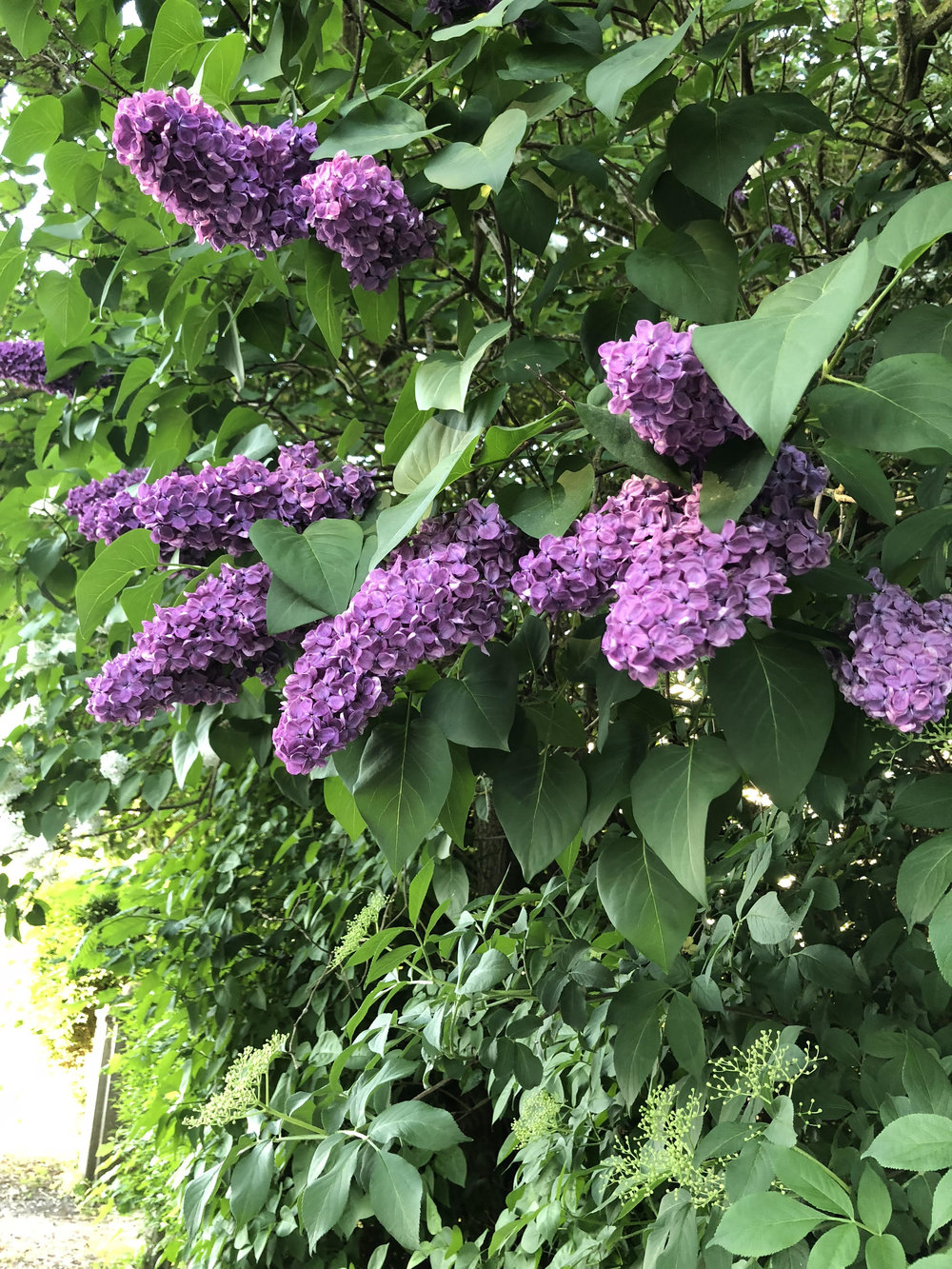 Aarhus gardens are full of lilacs at this time of year. May,2018