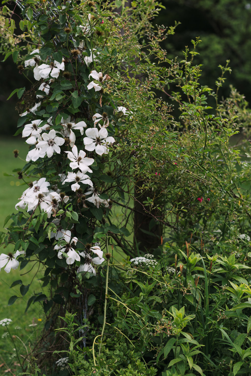 Lo and behold a 'Wedding Day' clematis in full bloom in Sue's garden.