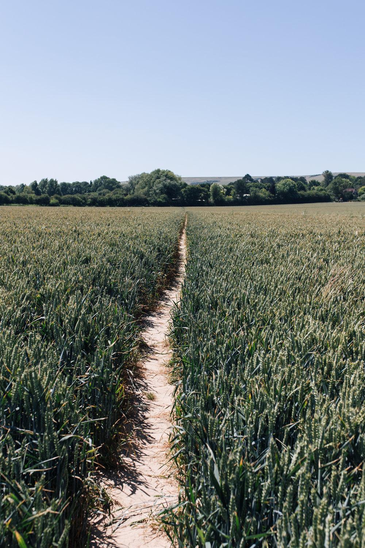 Down bridal paths through wheat fields