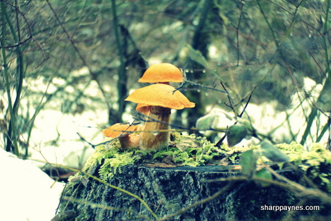 trhiving, winter mushroom, photography beginner