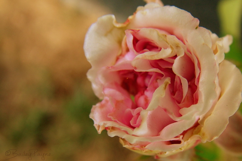 faded rose, sepia