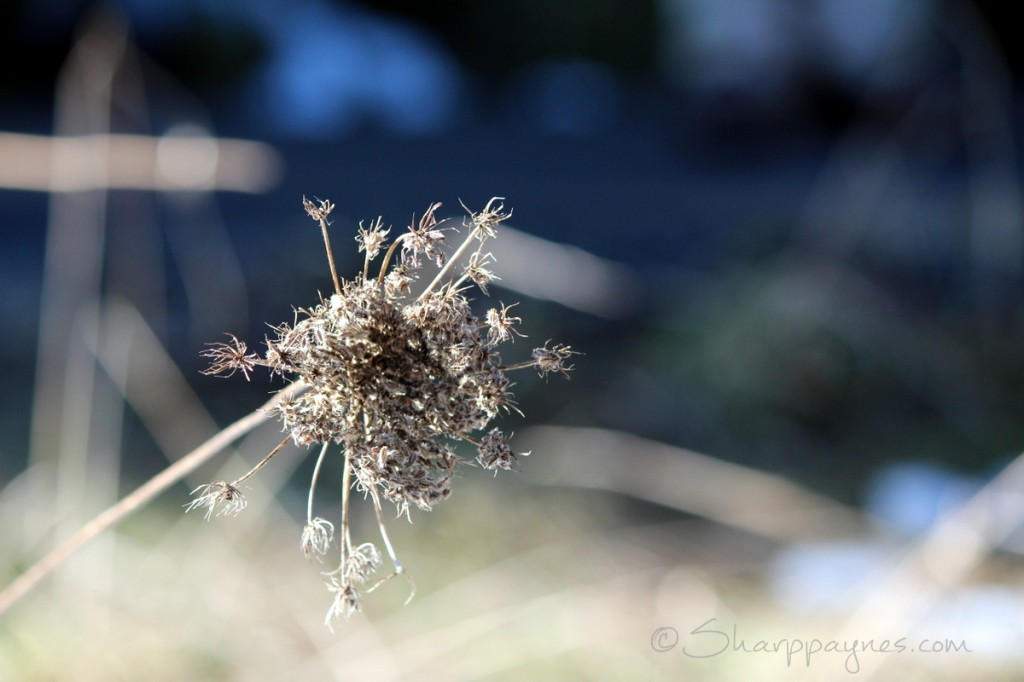 Winter Queen Anne's Lace