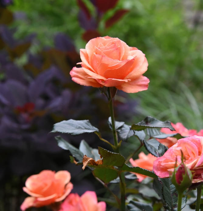 Annas-Promise-rose-with-smokebush.jpg
