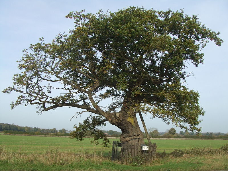 Kett's oak, the legendary tree at the heart of where Kett's camp on Mousehold Heath would have been situated.