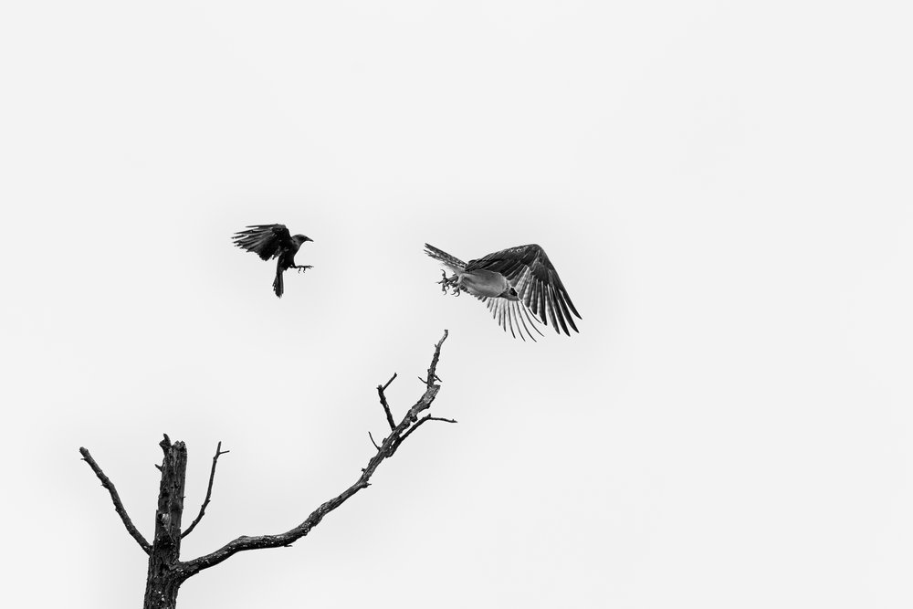 Crow vs Osprey, Fort Smallwood Park, MD