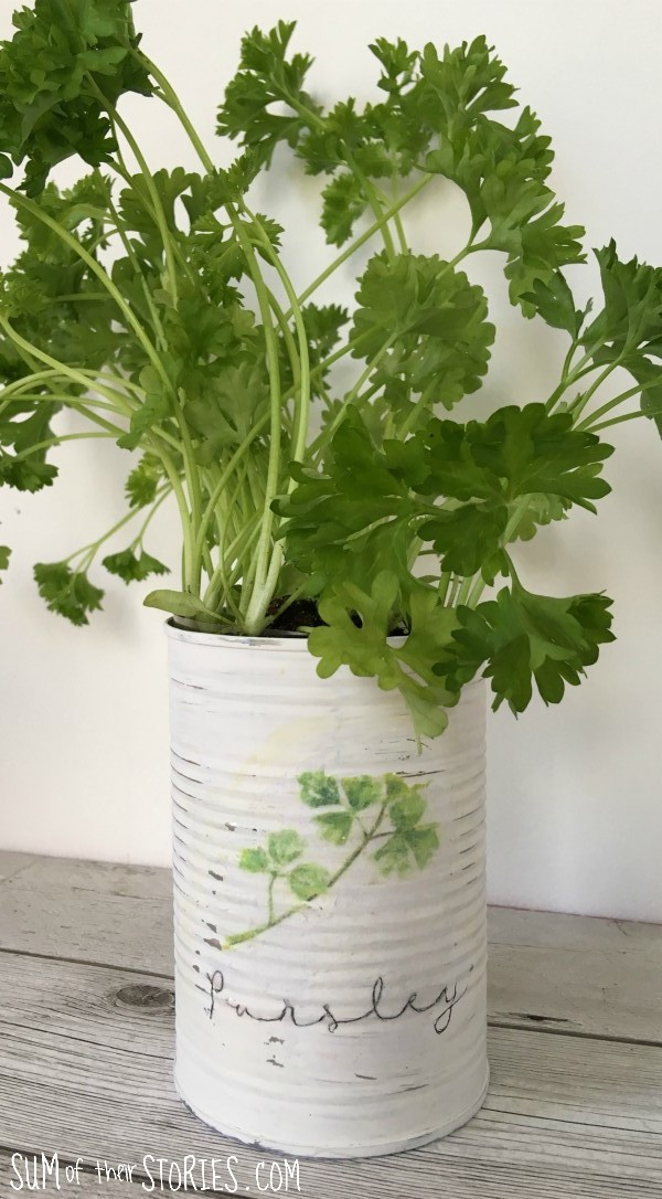 Parsley upcycled can herb planter